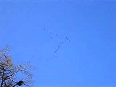 Huge Flock of Sandhill Cranes Part 2