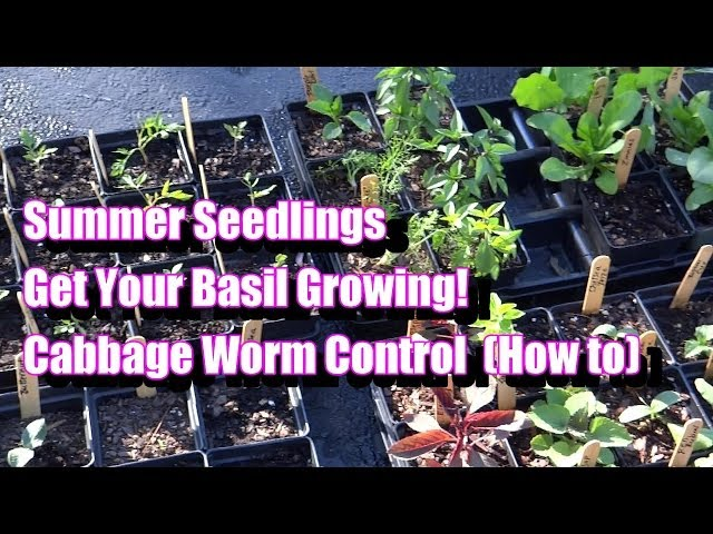 The Summer Seedlings, Cabbage Worm Control (How to), & Grow Your Basil Like a Bush