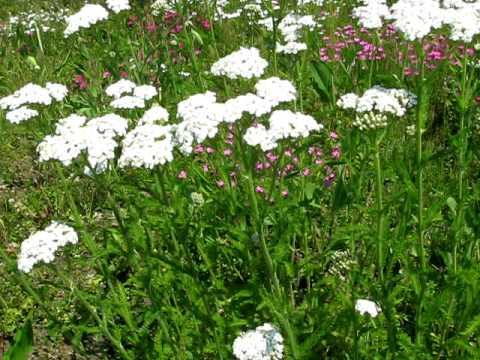 Yarrow Video