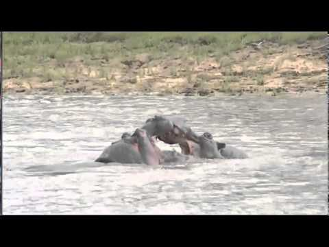 Dec 30 WildEarth Safari AM Drive Hippos: Fighting out of water