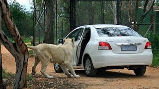 The Man Eater Lion Opens The Door Of A Safari Car With Passengers