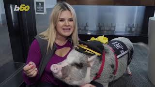 Therapy Pig Clad In Captain's Hat Roams The Airport Relieving Stress & Anxiety For Passengers!