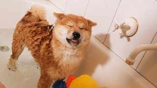 Shiba Puppys First Bath (Not Happy)