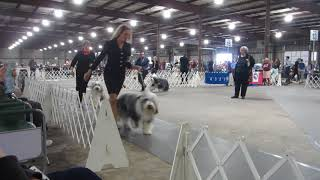MVI 3298 - Old Dom 4/21 - Open Dog Class