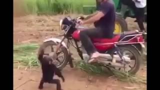قرد يركب دباب
