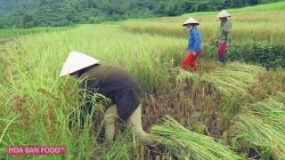 MÙA GẶT TÂY BẮC | Rice Harvesting