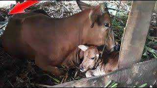 Thanh Hóa: Bò mang thai đến ngày sinh, cả nhà giật mình chứng kiến 'sọ dừa' chui ra