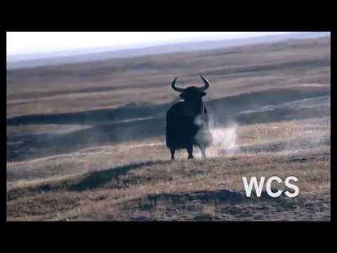 Climate Change Affecting Yak Distribution | WCS