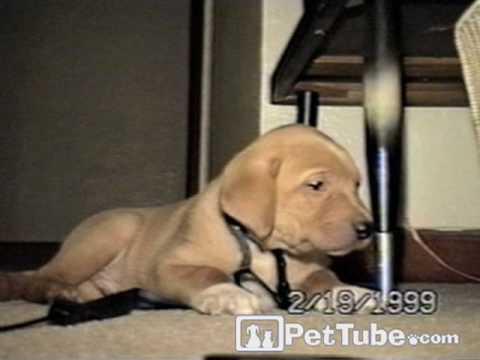 cute golden retriever puppies pictures. Cute golden retriever puppy