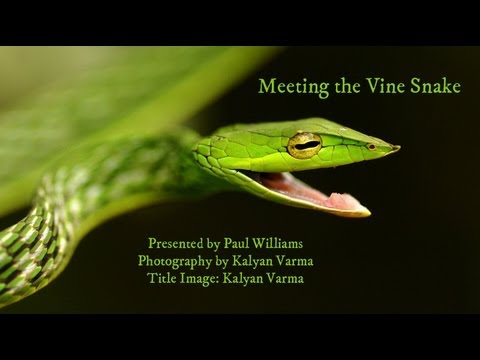Bright green Vine Snake: Feeling Hungry? Video