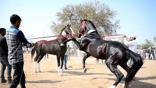 Mega Ashwa show Breeding Stallion horse ring show 2018