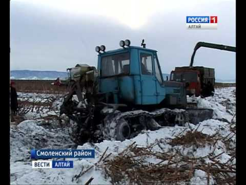 В Алтайском крае после первых морозов начали убирать урожай самых вкусных семечек