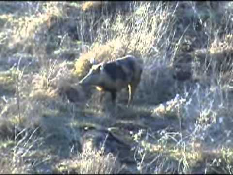 Texas Wild Hog Hunts-TBNHC