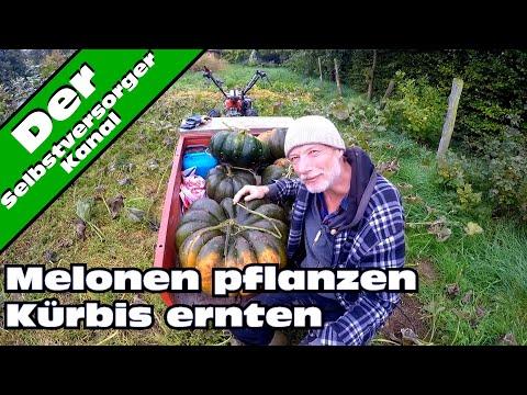 Melonen Pflanzen, Kürbis Ernten.