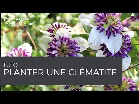 Planter une clmatite (Fiches conseils) - Plantes et Jardins
