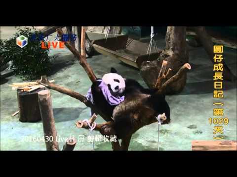 20160430 Live/保育員和團團玩水/團團棲架上快樂玩毛巾