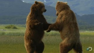 Giant Grizzly Bears Battle | Great Bear Stakeout