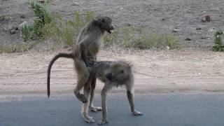 Parco Kruger  -  Babbuini  2016