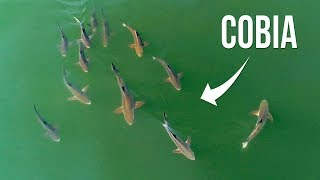 Incredible Drone Fishing for Cobia