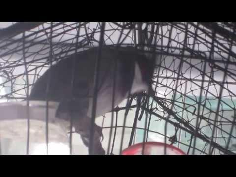 Chim Chào Mào Hót Rất Hay Gốc Huế video