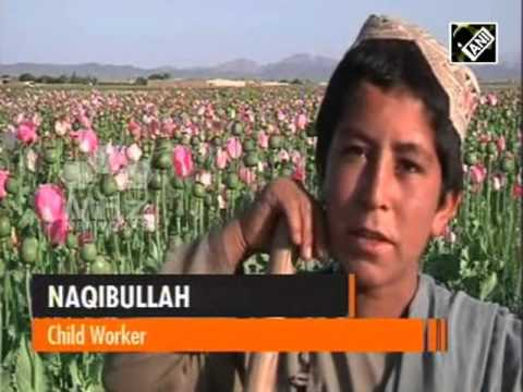 Despite eradication programmes, Afghan children continue to tow in poppy fields (28 Apr, 2016)