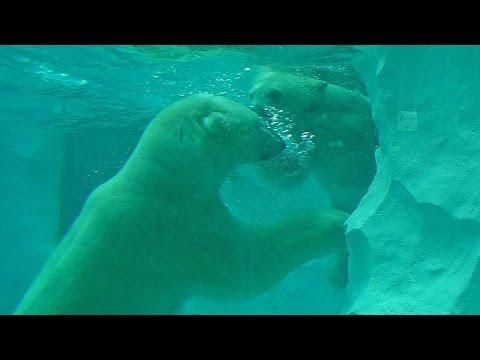 水中で遊ぶホッキョクグマ・イコロ&デア(上野動物園)Polar bear couple