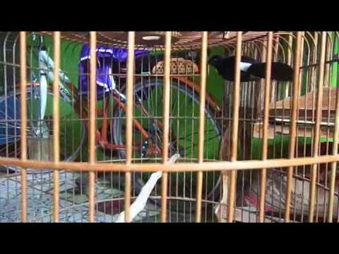 Murai Batu Medan Didikps Volume 09 video