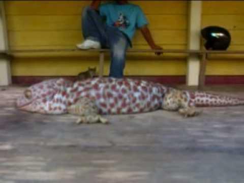 Tokek cicak gecko Raksasa? video