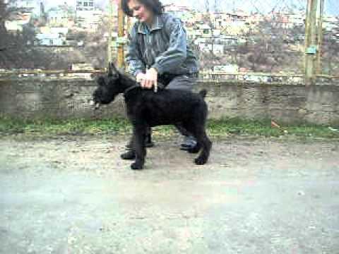 Роман-Кош Евридика 4 мес. урок хендлинга