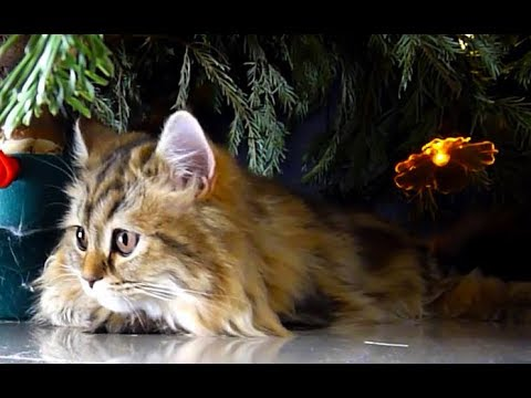 Meowy Xmas! Funny Cats Cute Kittens Compilation for The Holidays