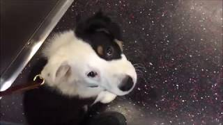 Puppy's first Time on Subway   NYC Service Dog Training