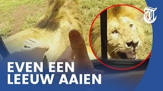 Domme toerist wil leeuw aaien