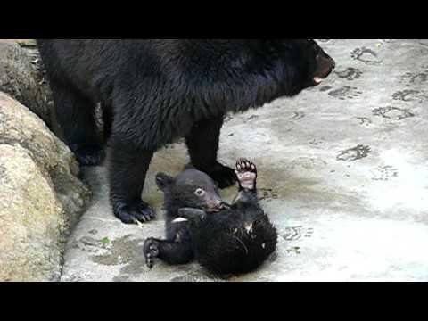 上野動物園のニホンツキノワグマの親子。Baby Japanese black bear and Mom.#01