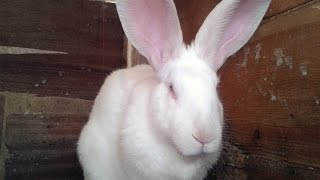 Types of rabbits breeds. Raising White Giant Rabbit.