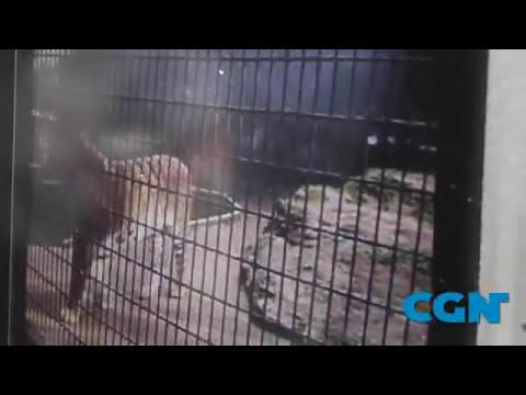 Tigre ataca garoto em zoológico do Paraná