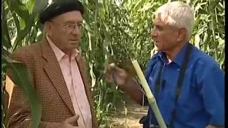 50 years selection of sorghum // 50 лет селекции сорго в Молдавии
