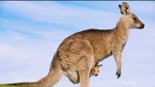 Australian Animals - Kangaroos
