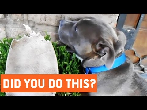 Guilty Dogs Won't Admit to Eating Shoe