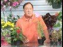 Growing Flowering Plants : Growing Cosmos Plants