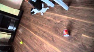 crazy staffie puppie vs pringles box lol May 2015