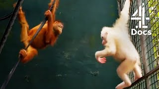 World's 1st Albino Orangutan - Will it be Accepted by the Others?