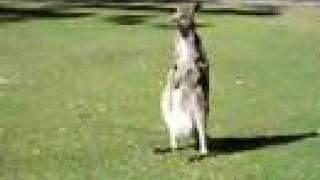 二本足で立ってお腹をシャカシャカ掻くカンガルー
