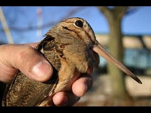 Irish Woodcock Hunt