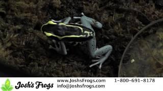 5 Tips for Breeding Dart Frogs