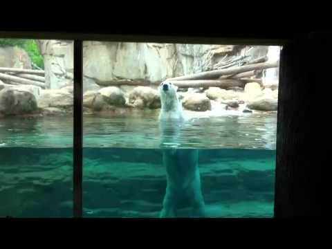 Feeding polar bears!