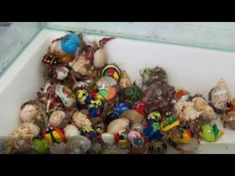 Hermit Crabs- The mistreated Animal