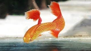 Nuôi cá 7 màu thuần chủng khó lắm!!!