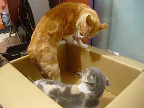 Gatos peleando por caja