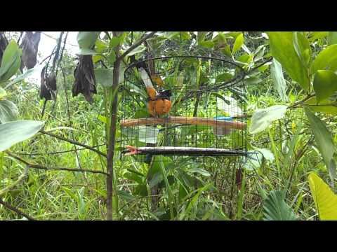 Burung murai batu: King hutan no.1