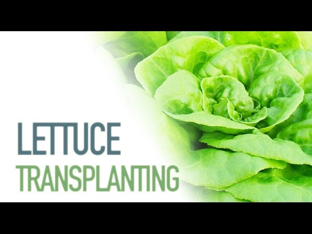 How to Grow Lettuce - Transplanting